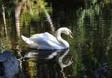 Graceful swan. Elegant and graceful mute swan reflecting in tropical waters Royalty Free Stock Photo