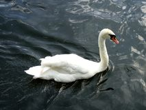 A Graceful Swan Swims Along the River. A graceful swan glides along the river, leaving a pattern of gentle ripples behind it Stock Photo