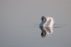 Graceful swan grooming herself on the lake's calm water Stock Photography