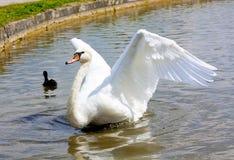 Graceful Swan Stock Image