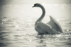 Graceful Swan on a lake in black and white Stock Photos