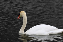A graceful swan Royalty Free Stock Images