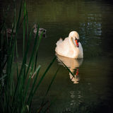Graceful Swan sunbathing outdoors in the park Royalty Free Stock Photography