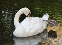 Graceful Swan Stock Image