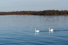 Graceful swans in calm water. Couple graceful mute swans i a calm blue water Royalty Free Stock Photos