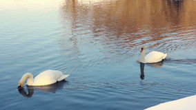 Graceful swans floating on water. White swans swimming on water. With beautiful reflections. Swan on blue water. White birds on river. White swans on water stock video footage