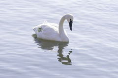 Graceful tagged trumpeter swan swimming on a calm lake, environm. Ental conservation and management concept Stock Images
