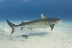 Graceful Tiger Shark. A Tiger Shark (Galeocerdo cuvier) swims along the shallow water as a school of fish follows stock photography