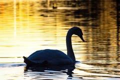 Graceful tones. Lake Swan sunset dusk Stock Images