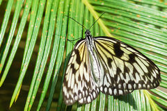 Graceful tropical butterfly Idea white Rice paper or wood Nymph lat. Idea leuconoe on palm leaf Stock Photo