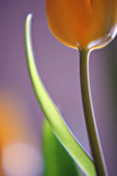 Graceful Tulip. Macro image of yellow tulip and stem Royalty Free Stock Images