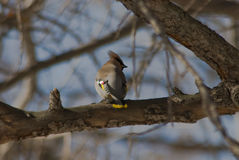 Graceful waxwings Stock Photo