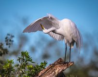 Graceful white egret preening under its wing Stock Photo