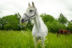 Graceful white horse in a field Royalty Free Stock Photo