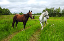 Graceful white horse in a field Stock Images