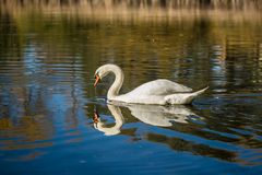 Graceful white mute swan swimming in a blue lake royalty free stock image