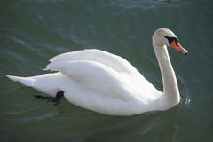 Graceful white mute swan swimming on lake summertime Royalty Free Stock Images