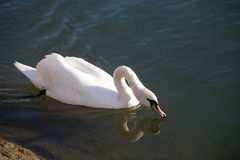 Graceful white mute swan swimming on lake summertime Stock Photo