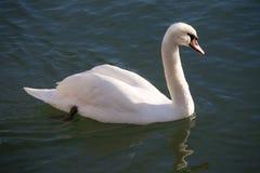 Graceful white mute swan swimming on lake summertime Stock Photos