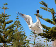 Graceful white seagull in flight against a backdrop of pine trees Royalty Free Stock Images