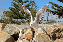 Graceful white seagull in flight against a backdrop of pine trees Stock Image