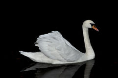 Graceful white swan. Royalty Free Stock Photos