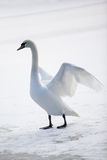 Graceful white swan Royalty Free Stock Photos