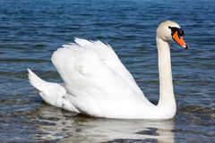 Graceful white Swan on a blue lake Royalty Free Stock Photo