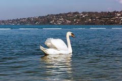 Graceful white Swan on a blue lake of Geneva city Stock Images
