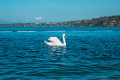 Graceful white Swan on a blue lake of Geneva city Royalty Free Stock Photos