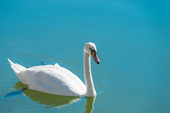 Graceful white swan floating in the clear water Royalty Free Stock Photo