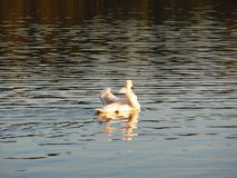 Graceful white swan floats on the lake with their wings Stock Images