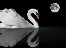 Graceful white swan and reflection under full moon stock images