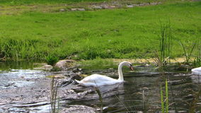 Graceful white swan swim fast ripply stream on sunny summer day stock footage