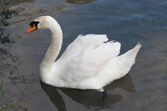 Graceful white swan is swimming through the lake.  Stock Photo