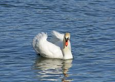 Beautiful white swan in the lake on a sunny day Royalty Free Stock Photography
