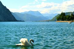 Graceful white swan swimming in lake Como in sunny summer day and Alps. Royalty Free Stock Photos