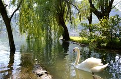 Graceful white swan swimming in lake Como in sunny summer day and weeping willows. Stock Photos