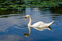 Graceful white swan swimming on water Stock Photos