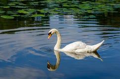 Graceful white swan swimming on water Stock Photos