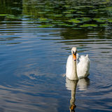Graceful white swan swimming on water Royalty Free Stock Photo