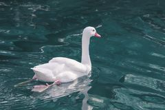 Graceful white swan swims along the blue water. Graceful white swan swims along the blue water Royalty Free Stock Photography