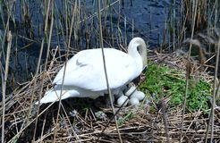 Graceful white swan taking care of his eggs laying on rushes on lake Como. Royalty Free Stock Images
