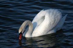 Graceful white swan on a water Stock Images