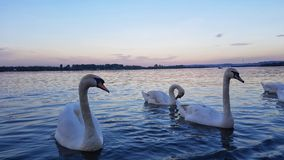 Graceful swans in the Danube river. Graceful white swans swiming in the lovely Danube river at dusk Royalty Free Stock Photo