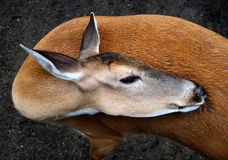 Graceful Whitetail Deer. With head turned stock photos