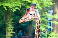 Graceful wild giraffe looking left, at the zoological park stock photo