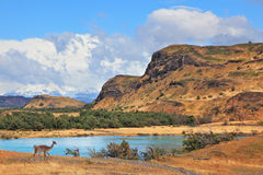 The graceful wild guanacos on the river bank Royalty Free Stock Image