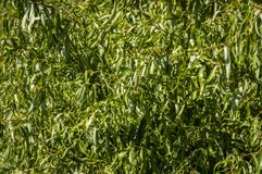 Graceful winding leaves and branches of willow Salix Matsudana or Chinese Willow. As a natural green background royalty free stock photography