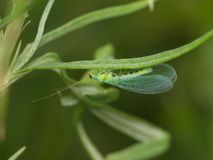 Graceful winged insect on a green leaf Stock Photo